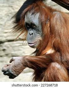 Female of Sumatran orangutan (Pongo abelii)