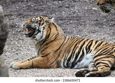 Female Sumatran Tiger lying down and snarling