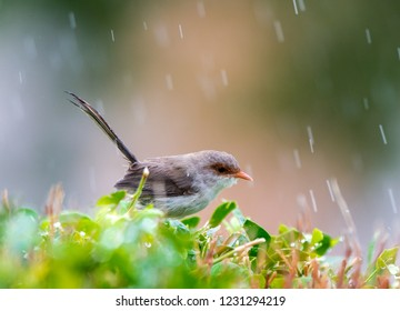 female superb fairy wren sitting in tree while raining in australian backyard with room for text or quote
