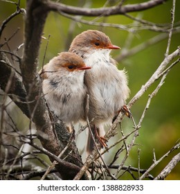 Female Superb Fairy Wrens in Tasmania Australia. Two tiny wrens pushed together in a tree to stay warm.