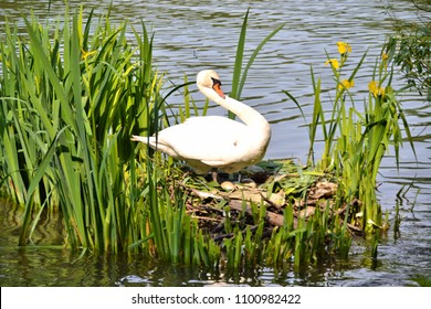 female swan allowing a glimpse onto her 4 unhatched eggs in the nest