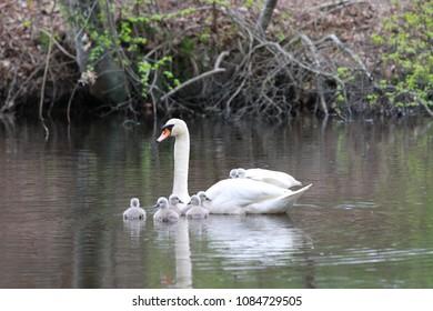 Female Swan Carries Chicks Piggyback