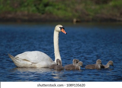 Female Swan and Seven Chicks on the Lake