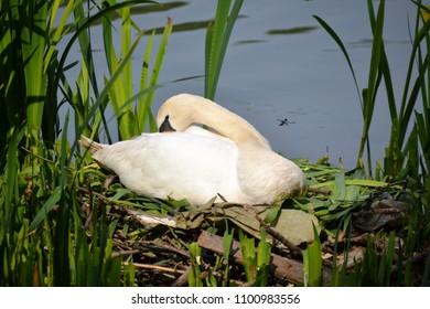 female swan sitting on a nest