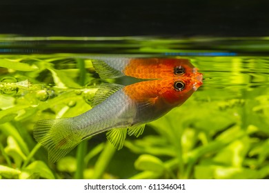 Female swordtail at the level of self-reflection.