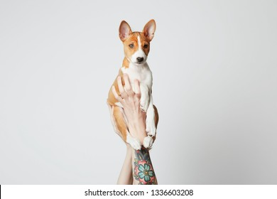 Female tattooed hands holds up a basenji puppy dog isolated over white. Copy paste space