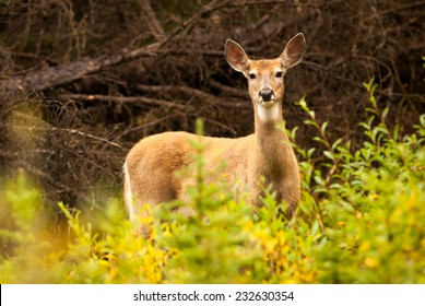 Female Tawny Northwest White-tailed Deer (Odocoileus virginianus ochrourus ) adult looking at camera from behind vegetation with ears up ready to run away. Alberta, Canada, North America.