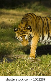 Female tiger photographed in captivity