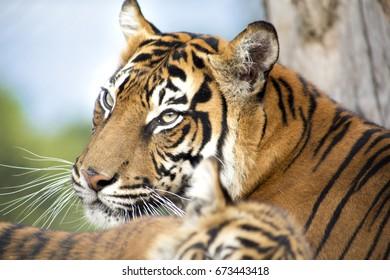 Female tiger with sleeping tiger cub