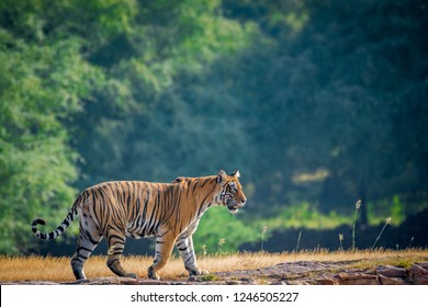A female tiger stroll for territory marking in early morning in nature amidst after monsoon when park is fully green at ranthambore tiger reserve, India
