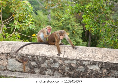 Female Toque macaque grooming a male toque macaque with long visible tail in Sri Lanka