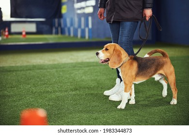 Female trainer teaching an obedient cute beagle the Heel command