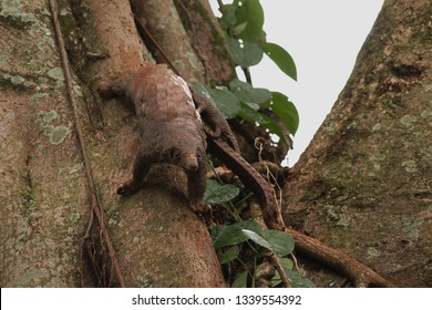 Female of the tree pangolin with a baby climbing the tree. The species is also known as the white-bellied pangolin or three-cusped pangolin. The species is endangered due to poaching.