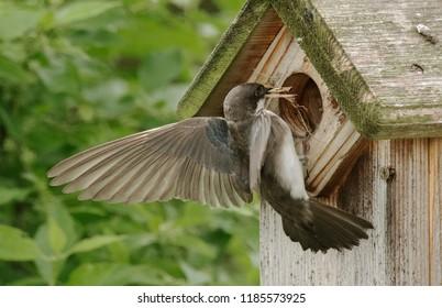 Female Tree Swallow bringing nesting materials to birdhouse.