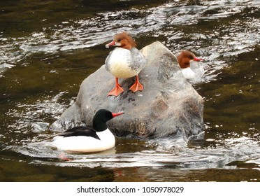 female and  two  male mergansers on a boulder in the south platte river in waterton canyon in littleton, colorado