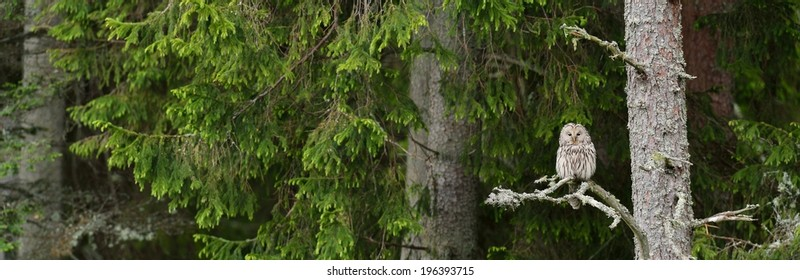Female ural owl in a forest, panorama