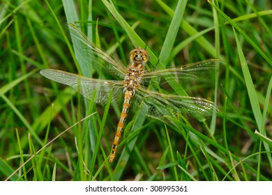 Female Variegated Meadowhawk Dragonfly resting in the short grass. Hermitage Park, Edmonton, Alberta, Canada.