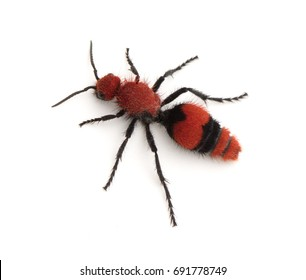 A female Velvet Ant (Dasymutilla occidentalis) isolated on a white background