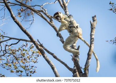 A female Verreaux sifaka leaps from tree to tree with a baby clinging onto her back. Madagascar