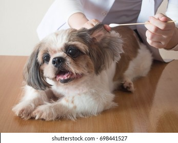 Female veterinarian cleaning ears to nice Shih tzu dog with ear cleaning rod or cotton stick on wood table at veterinary clinic. Pet health care and medical concept. Close up.