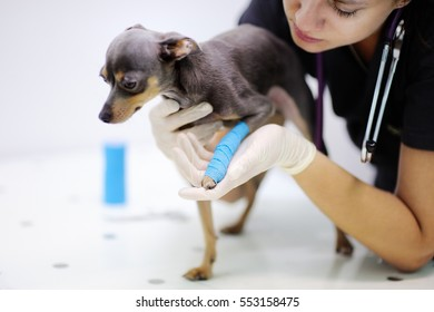 Female veterinarian doctor during the examination in veterinary clinic. Little dog with broken leg in veterinary clinic