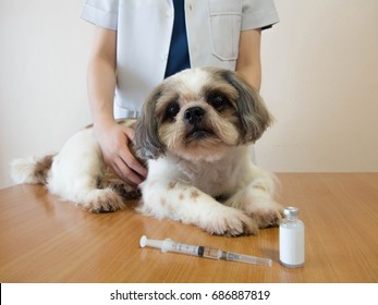 Female veterinarian and Shih tzu nice dog preparing for vaccine injection with medical vial and syringe on wood table at veterinary clinic. Vaccination, World rabies day and pet health care concept.