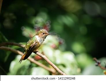 Female volcano hummingbird (Selasphorus flammula), a very small hummingbird in the Talamanca mountains. San Gerardo de Dota, Los Quetzales national park, Costa Rica.
