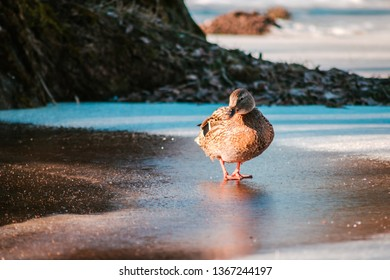 Female wald mallart duck
