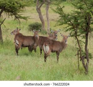 "Female Waterbuck (scientific name: Kobus ellipsiprymnus, or ""Kuru"" in Swaheli) image taken on Safari located in the Serengeti National park, Tanzania"
