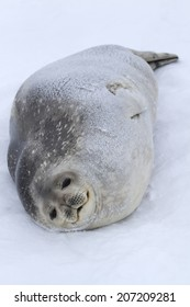 female Weddell seals lying on the ice after the feeding of the Antarctic