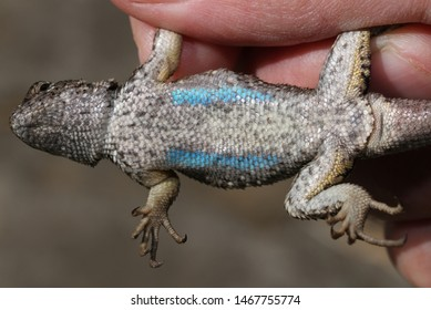 Female Western Fence Lizard belly view showing light blue patches and cloaca.  You can tell it is a female from the small postanal scales behind the cloaca.