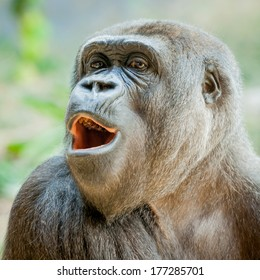 Female Western Lowland Gorilla (Gorilla gorilla gorilla) in the zoo looking out and interested with mouth open and teeth showing