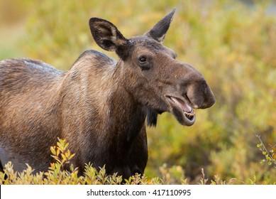 Female Western moose (Alces alces andersoni) portrait. Kananaskis, Alberta, Canada, North America