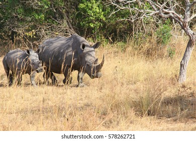 The female of a white rhinoceros with a cub is grazed in the African savanna