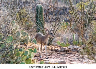 Female white tail deer facing the camera in a Sonoran desert landscape filled with cacti such as prickly pear, cholla, saguaro cactus, ocotillo and grasses. Beautiful pose and light. Tucson, Arizona.