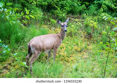Female white tailed deer in the forest near Vancouver, British Columba, Canada