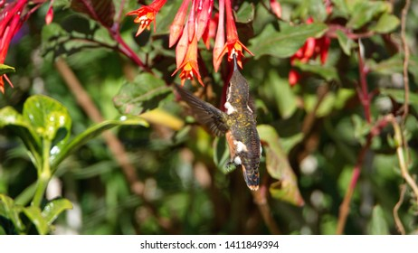 Female White-bellied woodstar (Chaetocercus mulsant) feeding from an Ecuadorian fuchsia bush in a garden in Cotacachi, Ecuador