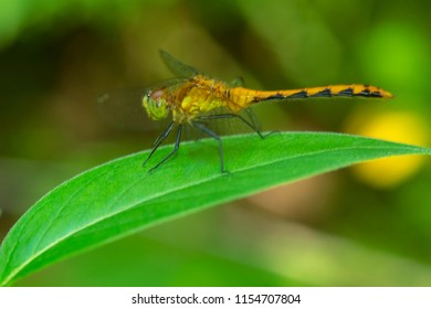 Female White-faced Meadowhawk Dragonfly perched on a leaf. Rouge National Urban Park, Toronto, Ontario, Canada.