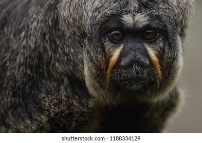 A female white-faced saki carries a baby on a tree