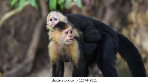 Female White-headed capuchin (Cebus capucinus) with her offspring.  Medium sized monkey of the family Cebidae, subfamily Cebinae, carries her offspring on her back in her jungle home in Panama.
