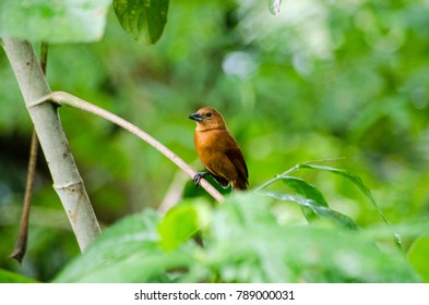 A female white-lined tanager perched on a tree branch in the rainforest of Tobago, Trinidad and Tobago in the Caribbean.