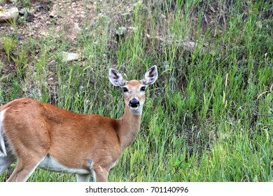 A female whitetail deer looking towards you