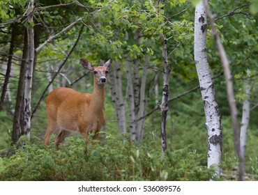 Female White-tailed deer wandering through the woods in Canada