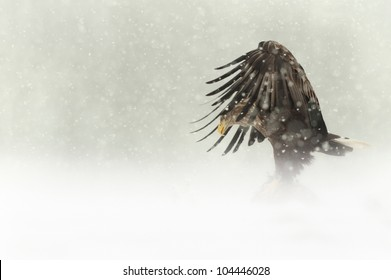 A female White-tailed sea eagle. Photographed standing on her prey in a severe Norwegian winter, high up in the mountains of the central Norway.