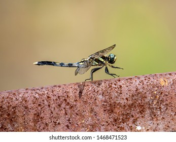 A female white-tailed skimmer, Orthetrum albistylum, rests on top of a rusty fence along a river in Japan.