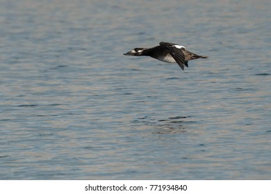 Female White-winged Scoter flying low over the calm water.