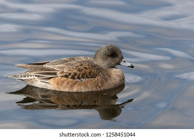 Female Wigeon Duck