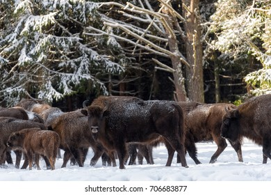 Female Of Wild European Brown Bison ( Bison Bonasus ) In Winter Pine Forest. Adult Aurochs ( Wisent ), Symbol Of The Republic Of Belarus. Bison (Bison Bonasus)  Standing On Background Of Common Herd