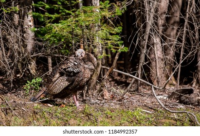 Female wild turkey and poults in a forest setting north Quebec Canada.