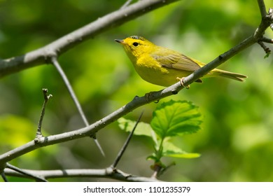 Female Wilson's Warbler perched on a branch. Ashbridges Bay Park, Toronto, Ontario, Canada.